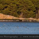 Merikotka kylvi kauhua Nötön edustalla vesilintujen rauhallisen iltapäivän keskelle