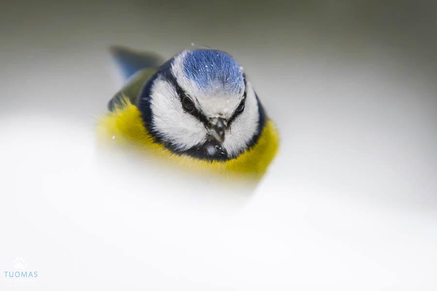 15 sinitiainen