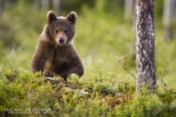 <p>Viime vuoden pentu - last year cub, 2014</p>