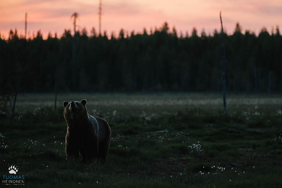 karhu kesäyössä