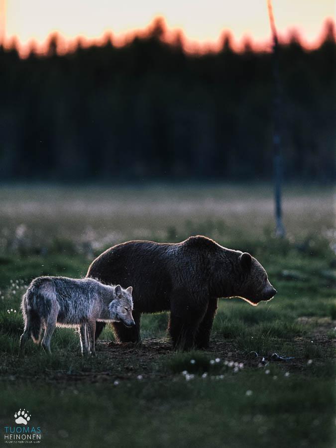 susi ja karhu kesäyössä