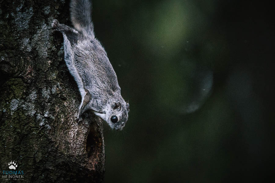 liito-orava espoo