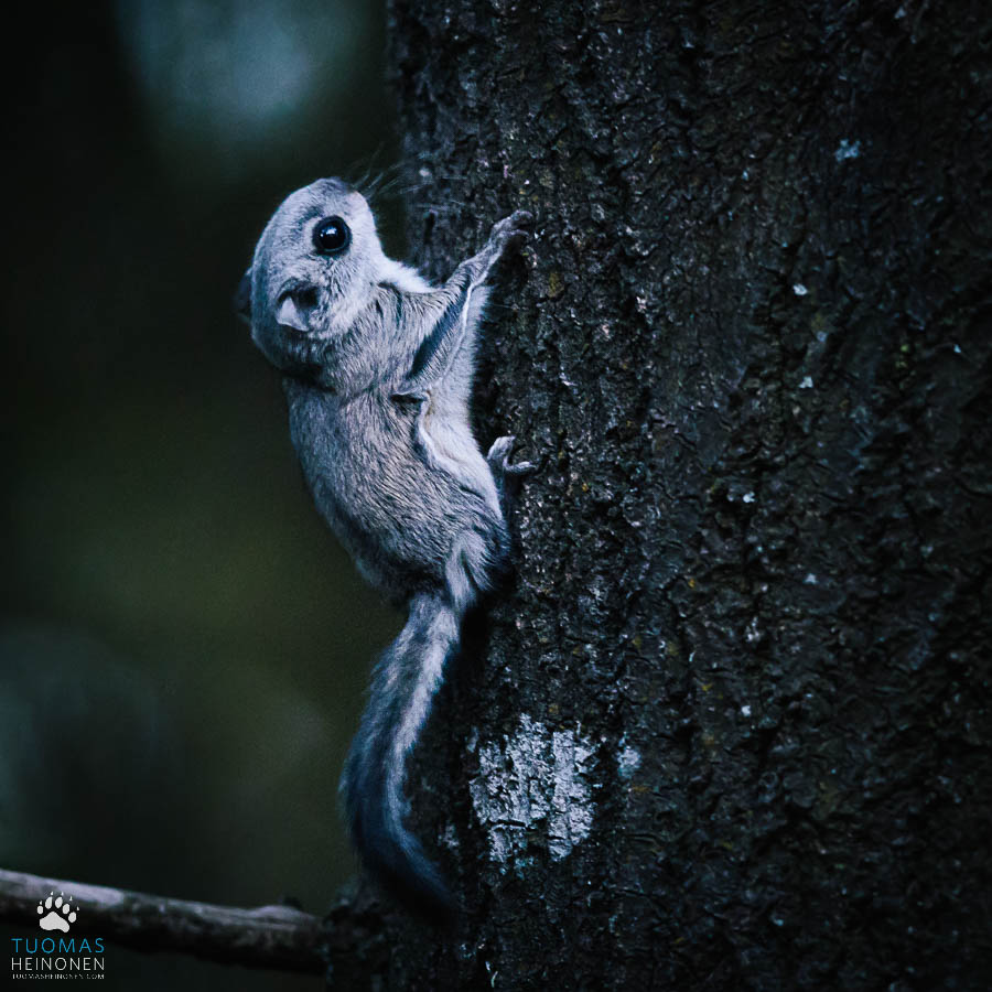 liito-orava lapsi