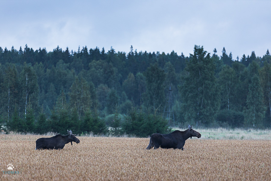 hirvi - moose