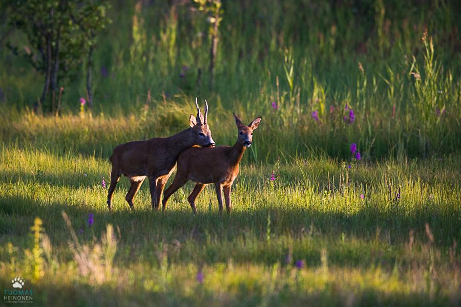 metsäkauris, roe deer