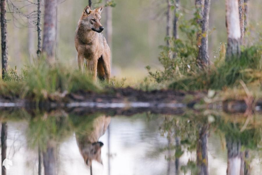 Susi - Canis lupus - Wolf