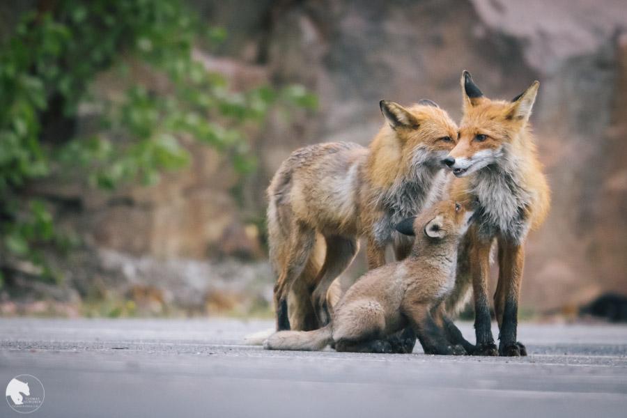 Kettu - Vulpes vulpes - Fox