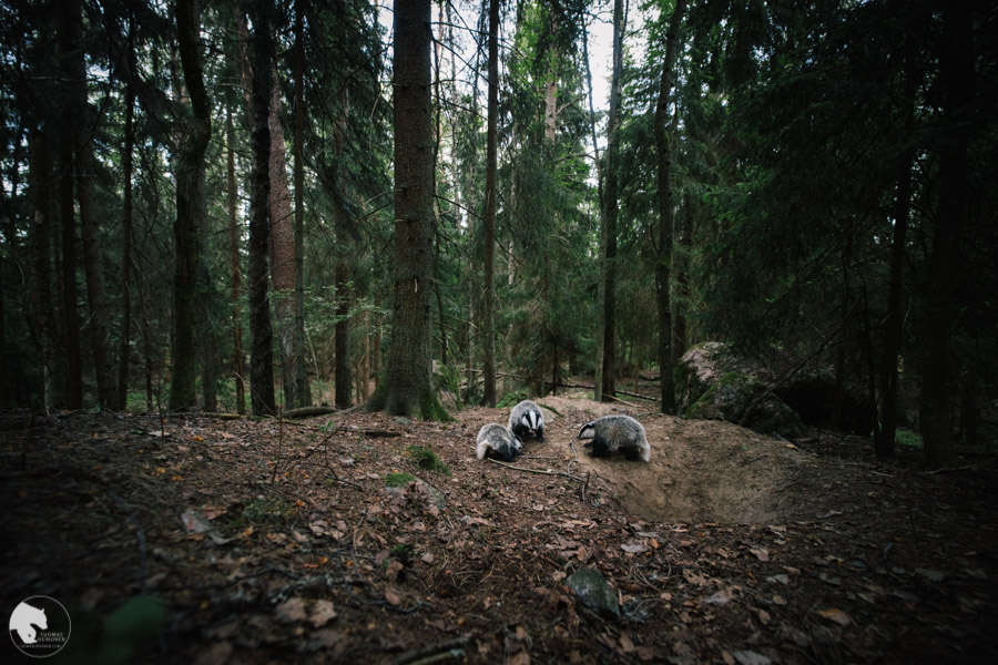 Mäyrä - Meles meles - Badger