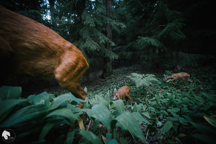 Metsäkauris - Capreolus capreolus - Roe deer