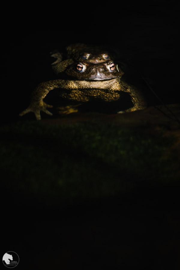Rupikonna - Bufo bufo - Common toad