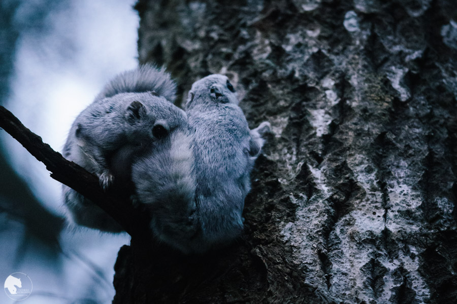 Liito-orava - Pteromys volans - Flying squirrel