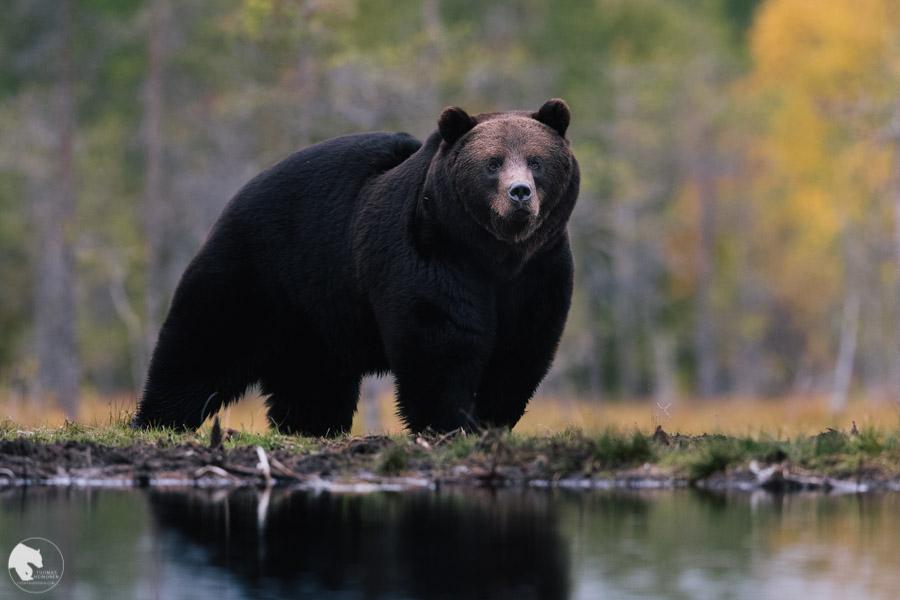 Karhu - Ursus arctos - Brown bear
