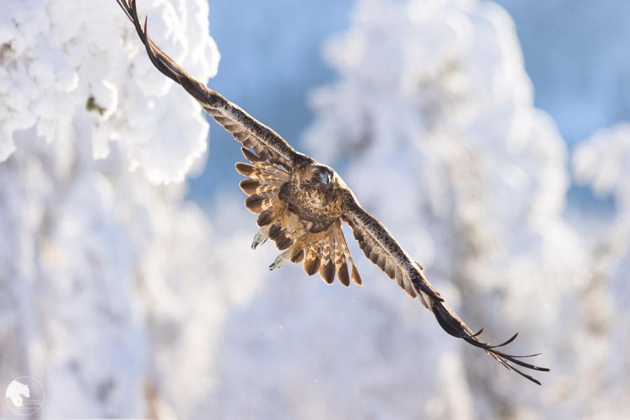 Maakotka - Aquila chrysaetos - Golden eagle