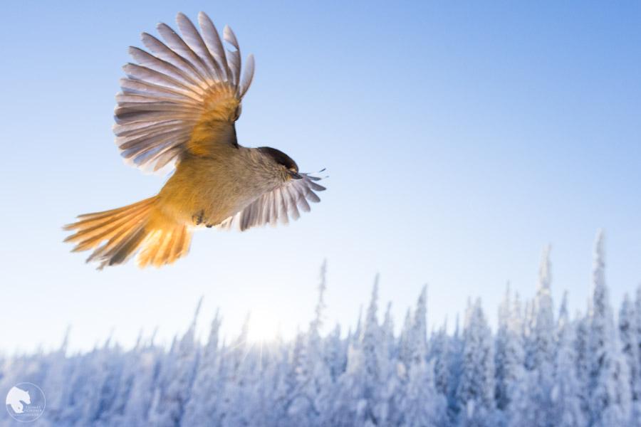 Kuukkeli - Perisoreus infaustus - Siberian jay
